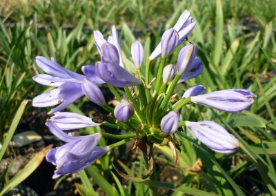 Agapanthus Pitchoune Blue Scrary 2