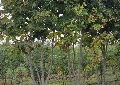 Carpinus betulus multistem nuvola (1)