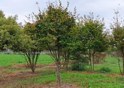 Carpinus betulus multistem nuvola (3)