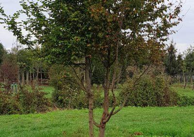 Carpinus betulus multistem nuvola (4)