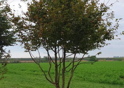 Carpinus betulus multistem nuvola (5)