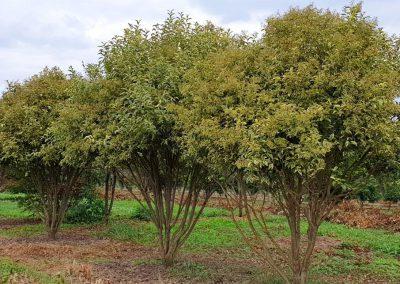 Ligustrum japonica Variegata multistem nuvola (1)