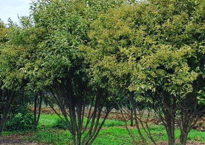 Ligustrum japonica Variegata multistem nuvola (2)