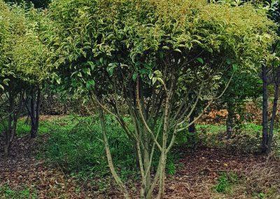 Ligustrum japonica Variegata multistem nuvola (3)
