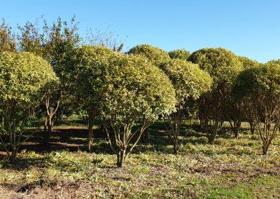 Ligustrum japonica Variegata multistem nuvola (4)