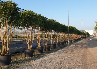 Ligustrum japonica mulsteam nuvola