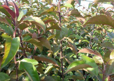 Malus Coccinella particolare foglie 2