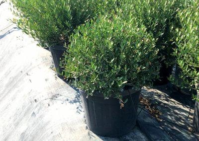 Phyllirea angustifolia a palla Ø 45-50 V.45lt(43)