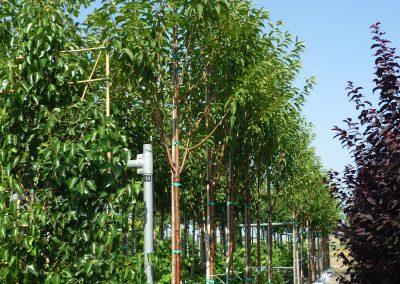 Prunus Maackii Amber Beauty