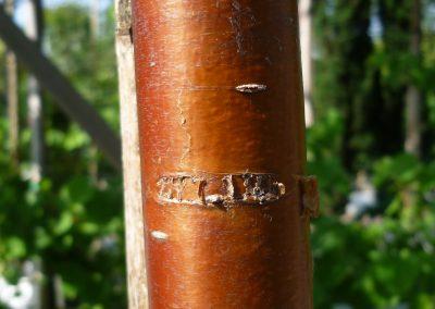 Prunus Maackii Amber Beauty particolare corteccia