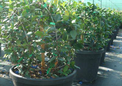 Rhyncospermum jasm. a palla vaso 35 lt. diam.cm.45 sfera piccola prov.vaso 19 4 piante 2