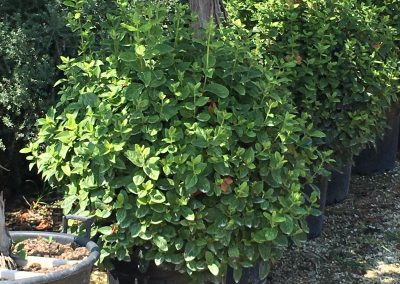 Viburnum tinus Eve Price a palla Ø 50-60 V.35LT (40)